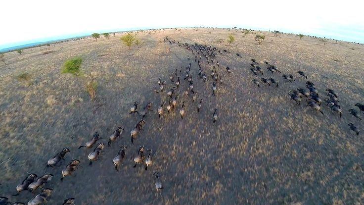 Drone Homemade : Homemade Safari: Incredible Drone Footage Of Serengeti Wildlife