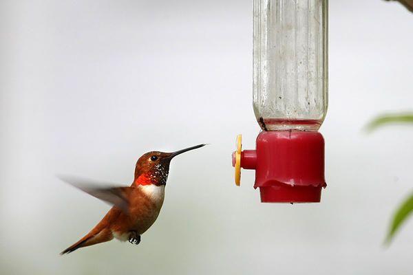 How hummingbirds are inspiring military drones - CSMonitor.com
