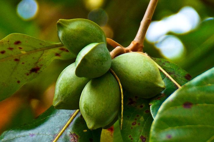 Drone Homemade : 17 AWESOME BENEFITS OF THE TROPICAL ALMOND. Tropical almond is ...