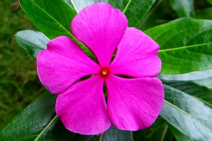 Drone Homemade : 25 EXCEPTIONAL BENEFITS OF CATHARANTHUS ROSEUS. What do you kno...
