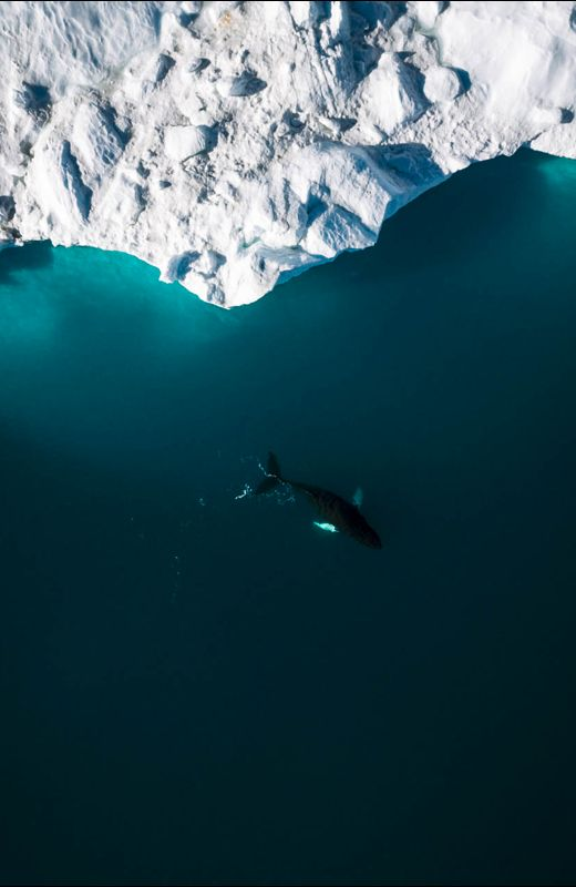 Lone Humpack Whale with Iceberg - Wildlife aerial photography by Michael Schauer MICHAELSCHAUER.COM