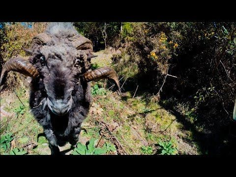 People Drone Photography : Angry ram knocks a drone out of the air and chases down photographer  he must work for the US Parks department
